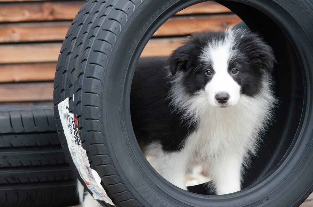 Hund Joy